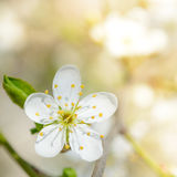 White Spring Flower in Bright Sun Light on Bright Blurred Background Stock Photos