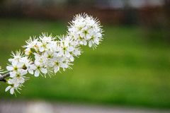 A white spring flower on a bush in the park at my house. stock photo