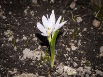 White spring flower grow in the ground. On brown background Royalty Free Stock Photos