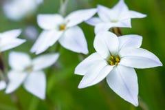 White spring flower Royalty Free Stock Photo
