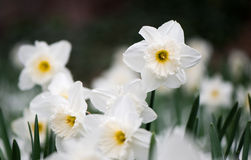 White spring flower Narcissus Stock Image