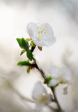 White spring flower. Nature blur backgrounds Royalty Free Stock Images