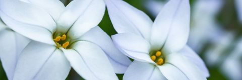 White spring flower panorama Royalty Free Stock Photography