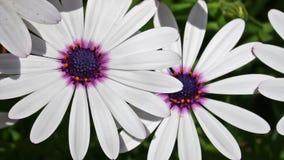 White spring flower stock video