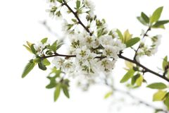 White spring flowers royalty free stock images