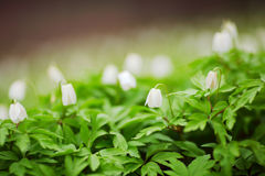 White spring flowers Royalty Free Stock Photography