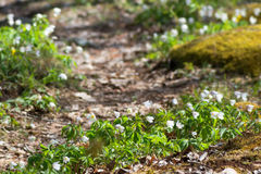 White spring flowers along a forest path Royalty Free Stock Image