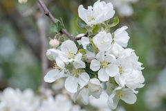 White spring flowers of apple fruit tree branch close-up Royalty Free Stock Photo