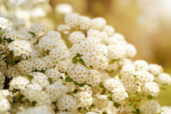 White spring flowers background with Spiraea cantoniensis. Blooming bush Stock Photography