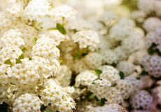 White spring flowers background with Spiraea cantoniensis. Blooming bush royalty free stock images