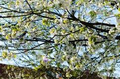 White spring flowers Royalty Free Stock Photos