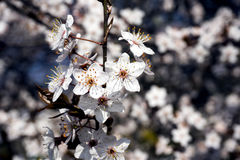 White spring flowers blossom on tree branch. White flowers on a tree branch in spring Royalty Free Stock Photo
