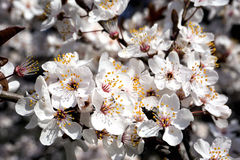 White spring flowers blossom on tree branch. White flowers on a tree branch in spring Royalty Free Stock Images