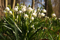 White spring flowers Royalty Free Stock Image