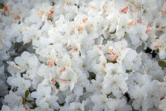 White Spring Flowers Stock Photos