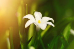 White spring flowers Chionodoxa in the garden with sun rays, soft focus Royalty Free Stock Image