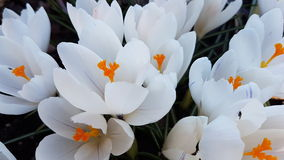 White spring flowers. Closeup of many white crocus flowers Royalty Free Stock Image