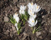 White spring flowers crocuses grow in the ground.  Stock Photography
