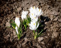 White spring flowers crocuses grow in the ground.  Royalty Free Stock Photo