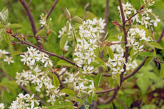 White spring flowers. Flowering Serviceberry Amelanchier canadensis stock images