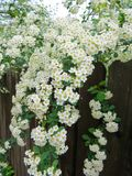White Spring Flowers Hanging Over A Fence. Green and white Spring blooms hanging over a brown wood fence Royalty Free Stock Photography