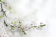 Free White Spring Flowers On A Tree Branch Royalty Free Stock Photos - 23914868