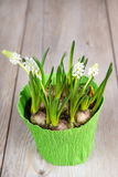 White spring flowers in pot on wooden background Royalty Free Stock Image