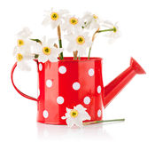 White spring flowers in red vase. On white background Royalty Free Stock Photography