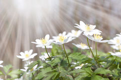 White spring flowers and sun rays Stock Photos