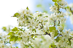 White spring flowers on a tree. White spring apple flowers on a tree Stock Images