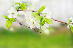 White spring flowers on a tree branch Stock Photos
