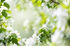 White spring flowers Stock Image