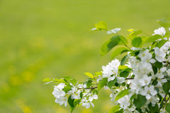 White spring flowers Stock Images