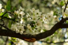 white spring flowers on a tree branch with a sunny bokeh background close up royalty free stock photos