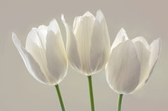 White spring flowers  tulips. White spring flowers, tulips on white background Royalty Free Stock Photo