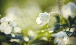 White spring flowers wild anemone Stock Photography