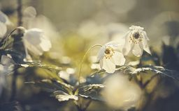 White spring flowers wild anemone Stock Images