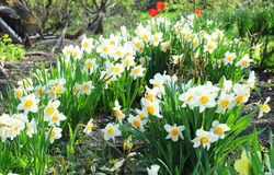 White spring garden narcissus flowers with red tulips flower bed. Narcissus flower also known as daffodil, daffadowndilly, narcissus, and jonquil stock photography