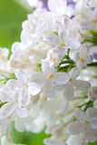 White spring Lilac Royalty Free Stock Image