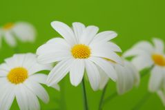 White spring marguerite Stock Photography