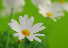 White spring marguerite Royalty Free Stock Images