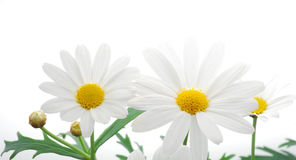 White spring marguerite Stock Photos