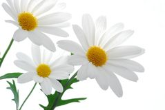 White spring marguerite Royalty Free Stock Image