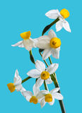 White Spring narcissus Royalty Free Stock Image