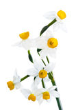 White Spring narcissus. Flower Bunch Isolated on white royalty free stock images