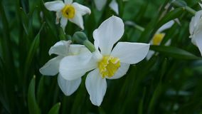 White spring narcissus flower plant video HD footage shooting static camera. stock video