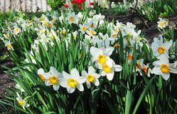 White spring narcissus flowers. Narcissus flower also known as daffodil, daffadowndilly, narcissus, and jonquil. Narcissus flower also known as daffodil stock photo