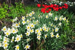 White spring narcissus flowers with red tulips flower bed. Narcissus flower also known as daffodil, daffadowndilly. Narcissus, and jonquil stock photo