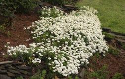White Spring Phlox in Bloom stock photos