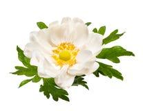 White tender anemone flower isolated on white background. White spring primrose anemone flower isolated on white background stock images